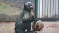 Sudah Tahu Ada Monyet Berwajah Manusia yang Jomblo 19 Tahun?