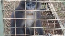 Monyet Surili yang Disangka Siluman di Cianjur Berhasil Ditangkap!