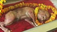 India Juga Pernah Heboh Sapi Mati Titisan Dewa