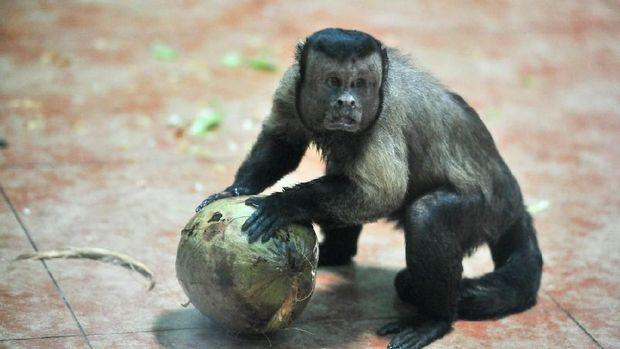 Sudah Tahu, Ada Monyet 'Wajah' Manusia yang Jomblo 19 Tahun?