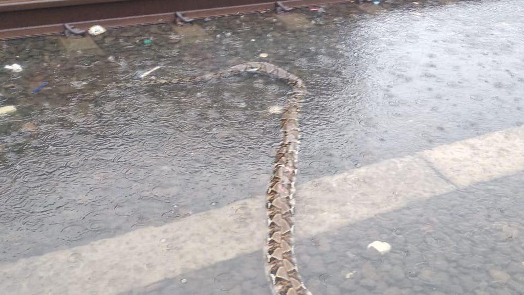 Ular Sanca 4 Meter Ditemukan di Perlintasan Kereta di Ancol Saat Hujan