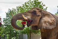 Gemas! Gajah Imut Ini Asyik Makan Bareng Pawangnya hingga Comot Nasi