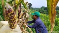 Lahan Jagung Pelangi Cianjur Bakal Ditata Jadi Ekowisata