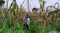 Ladang jagung pelangi Cianjur