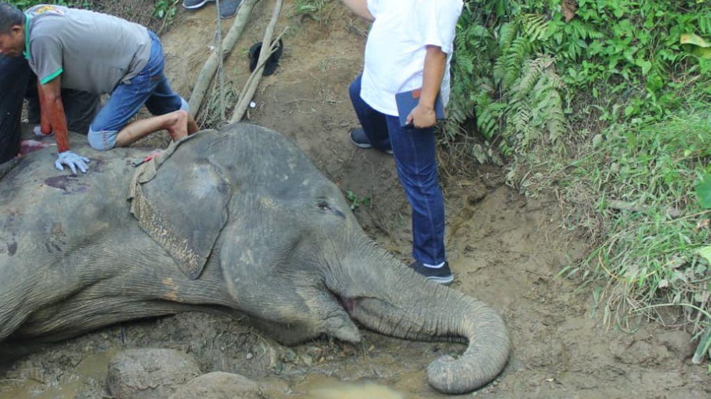 Gajah Neneng di Kebun Binatang Medan Mati