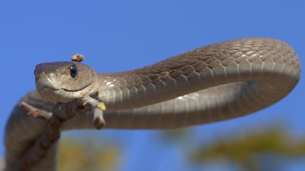 Ada alasan khusus mengapa Kobe memilih nama Black Mamba. Black Mamba dideskripsikan sebagai ular yang sangat agresif jika terancam, dan punya bisa yang mematikan. (iStock)