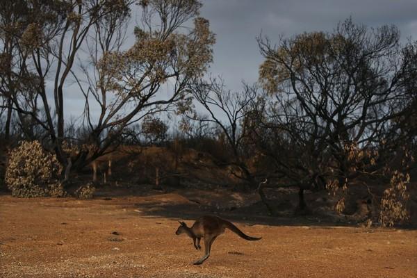 Melihat kondisi saat ini, para ilmuwan khawatir akan banyak spesies yang terancam punah, termasuk koala, kakatua hitam, dan dunnart (hewan marsupial sejenis tikus). (Foto: Getty Images)