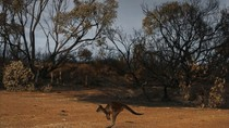 Dulu Indah, Pulau Kanguru Kini bak Pulau Mati