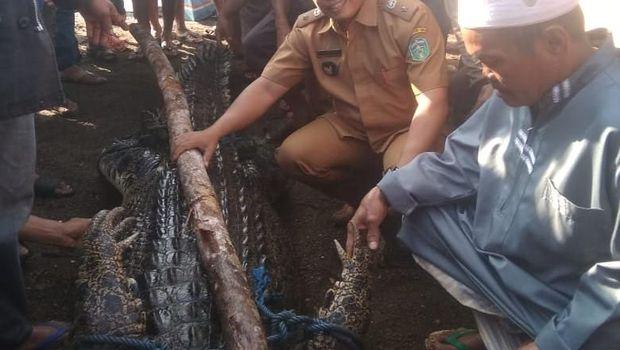 Terkam Warga, Buaya 3 Meter Luwu Timur Ditangkap