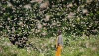 Bencana Teror Belalang yang Mengerikan di Afrika