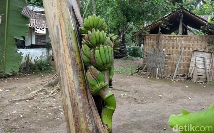 Bila umumnya buah pisang berbuah di pangkal pohon, buah pisang di Magelang ini justru berbuah di tengah-tengah batang pohon lho. Penasaran? Yuk, lihat.