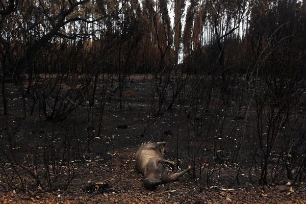 Kebakaran yang melanda Pulau Kanguru sejak 20 Desember 2019 lalu juga telah mengakibatkan ratusan satwa endemik Australia mati. (Foto: Getty Images)