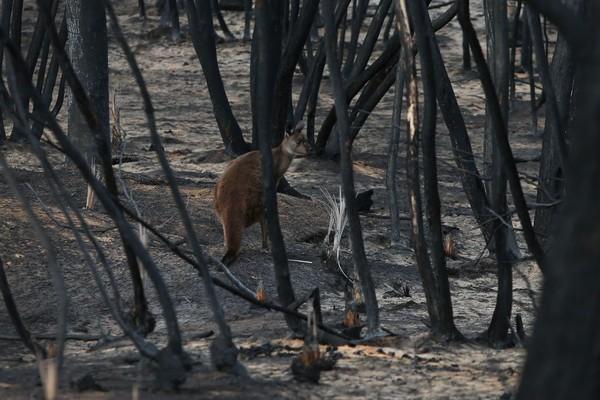 Ilmuwan memperkirakan setengah dari 50 ribu koala di Pulau Kanguru telah musnah akibat kebakaran. (Foto: Getty Images)