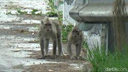 Tertarik Sesajen, Kawanan Monyet Ekor Panjang Turun dari Lereng Bromo