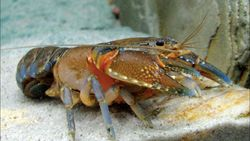 Komoditas Unggulan Bernama Lobster