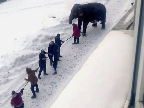 2 Gajah Asyik Berkeliaran dan Main Salju di Jalan Umum Rusia