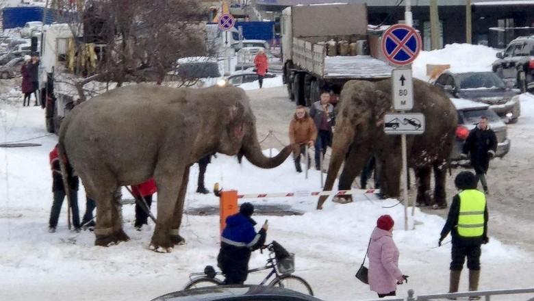 Gajah Berkeliaran di Jalan