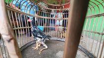 Ayam Siliwangi Berkaki 4 di Bekasi Dijual Rp 5 M, Ada yang Mau?