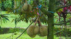 Nikmati Alam Sambil Makan Durian di Warso Farm di Bogor