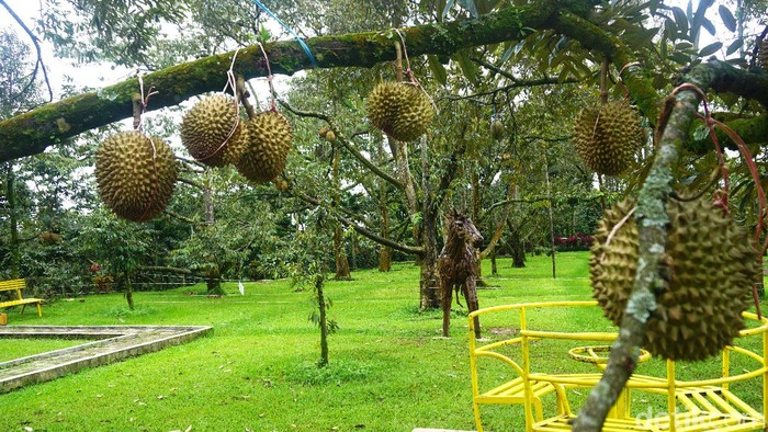 Warso Farm Kebun Durian
