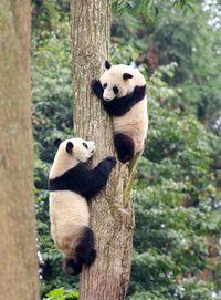 Virus Corona dan Panda China yang Menggemaskan