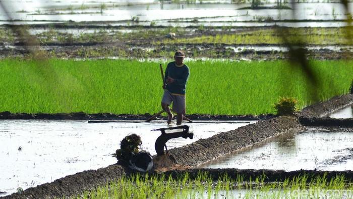 Musim hujan telah tiba, petani di Desa Ciganjeng, Kecamatan Padaherang, Pangandaran turun ke sawah. Mereka berharap musim tanam perdana tahun 2020 ini berjalan lancar.