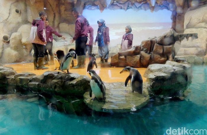 Menikmati liburan akhir pekan, nggak ada salahnya mengisi waktu main sambil belajar mengenal penguin di Ancol. Yups, tepatnya di Ocean Dream Samudra kita bisa melihat penguin secara langsung.