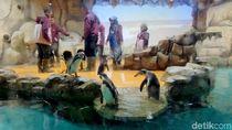 Bermain Sambil Belajar Mengenal Penguin di Ancol Yuk!