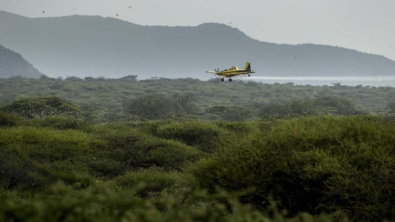 In this photo taken Saturday, Feb. 1, 2020, a desert locust feeds on an Acacia tree in Nasuulu Conservancy, northern Kenya. As locusts by the billions descend on parts of Kenya in the worst outbreak in 70 years, small planes are flying low over affected areas to spray pesticides in what experts call the only effective control. (AP Photo/Ben Curtis)