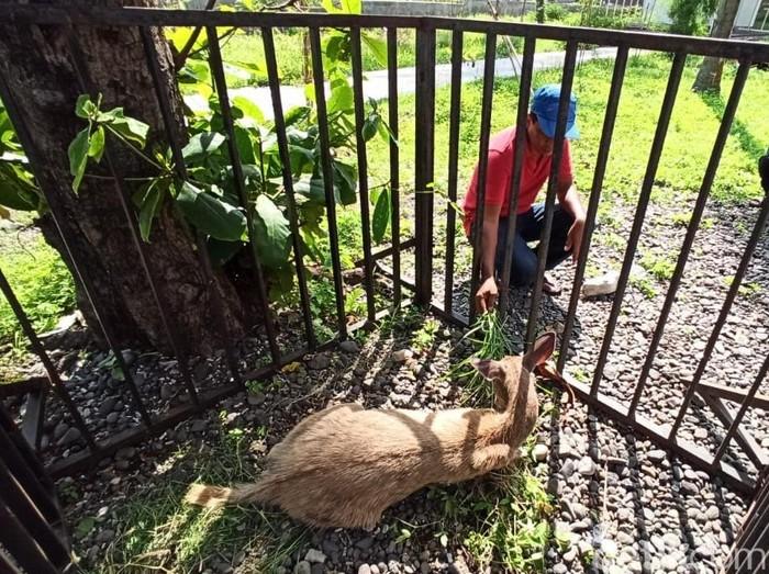 Seekor kijang betina terdampar di Pantai Grand Watudodol (GWD) Desa Bangsring, Kecamatan Wongsorejo. Diduga, hewan dilindungi ini berasal dari Taman Nasional Bali Barat (TNBB), Bali.