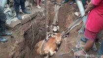 23 Sapi Mendadak Mati di Bali, Diduga karena Tympani