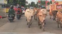 Pengendara di Jalan Tamangapa Makassar Digeruduk Gerombolan Sapi