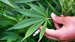 Peneliti Kemenkes Ungkap Risiko Bila Ganja Tetap Dijadikan Obat