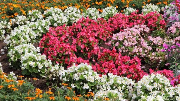 Jika Traveler tengah ke Jepang saat musim panas, cobalah mampir ke Biei, Hokkaido, Jepang. Bukit-bukit di sana bagai ditutup karpet bunga alami aneka warna.