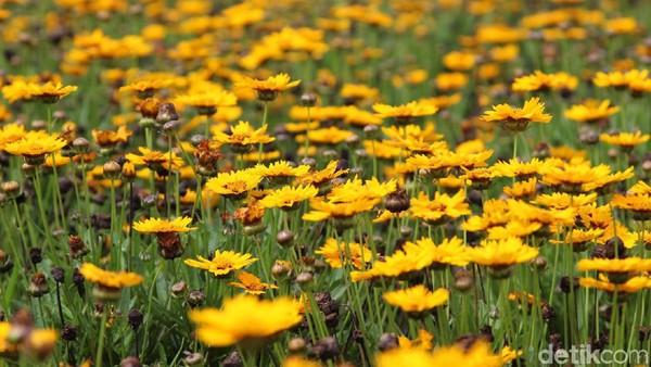 Pada musim panas, bukit-bukit di Biei, Hokkaido, Jepang akan memberikan warna-warni yang menarik hati para wisatawan. Bunga-bunga yang merona sepanjang musim panas.