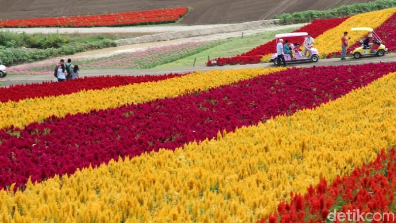 Hamparan Bunga di Shikisai-no-oka, Hokkaido, Jepang.