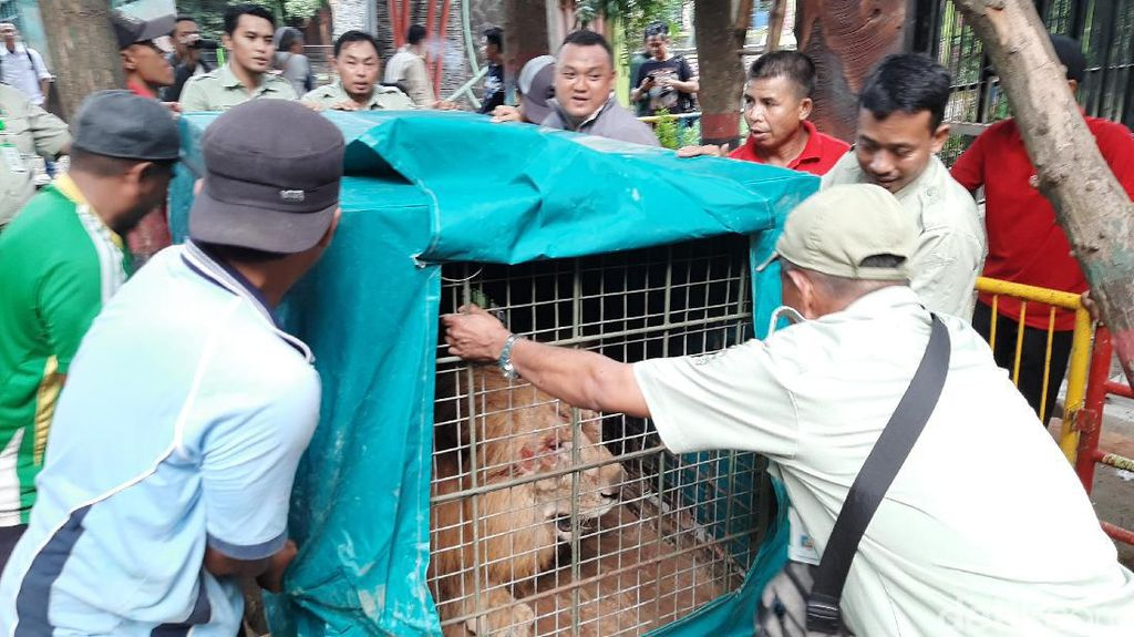 Dua Singa Jadi Koleksi Baru Bonbin Mini di Kota Probolinggo