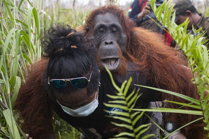Satu orangutan jantan bersama pasangan dan anaknya bergelantungan di atas pohon saat hendak diselamatkan tim gabungan IAR Indonesia dan BKSDA Kalbar di Jalan Pelang-Tumbang Titi Km 9 di Desa Sungai Pelang, Kecamatan Matan Hilir Selatan, Kabupaten Ketapang, Kalimantan Barat, Minggu (2/2/2020). Dalam kesempatan tersebut IAR Indonesia dan BKSDA Kalbar berhasil menyelamatkan satu induk betina orangutan serta anaknya dari sebuah pohon kering di hutan yang telah mengalami kerusakan parah akibat kebakaran besar pada 2019 lalu, sementara satu orangutan jantan lainnya meloloskan diri saat hendak diselamatkan. ANTARA FOTO/HO/IAR Indonesia-Heribertus Suciadi/jhw/foc.
