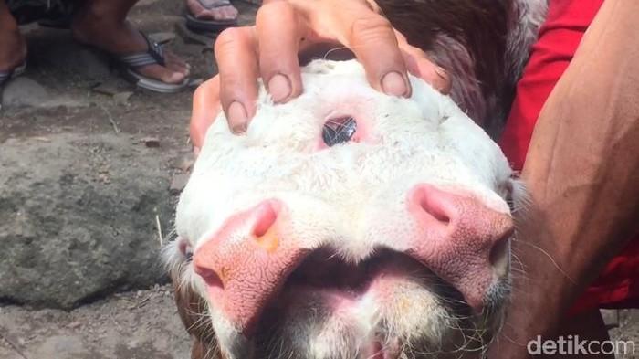 Anak Sapi Lahir Dengan 2 Mulut dan 4 Mata