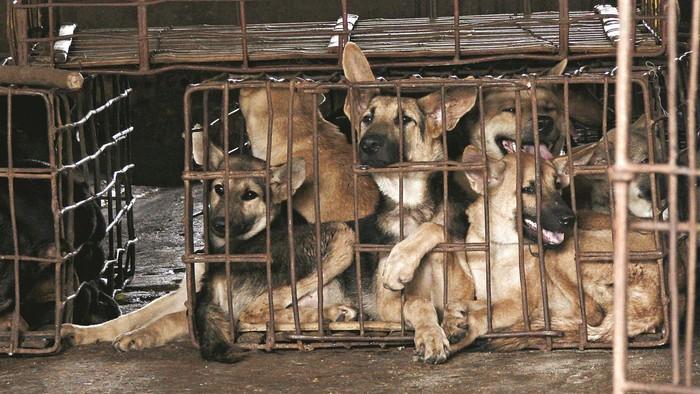 Anjing Kamboja