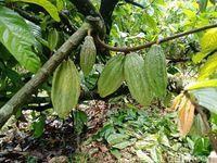 Tanaman kakao