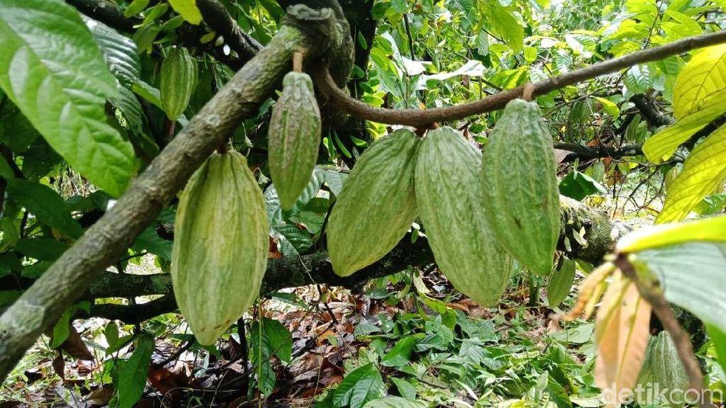 Wisata ke Bogor, Yuk Kenalan dengan Tanaman Cokelat