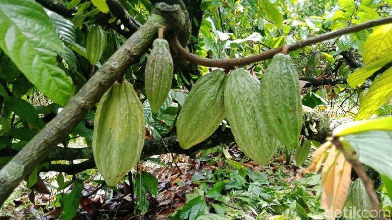 Kebun cokelat di Bogor.