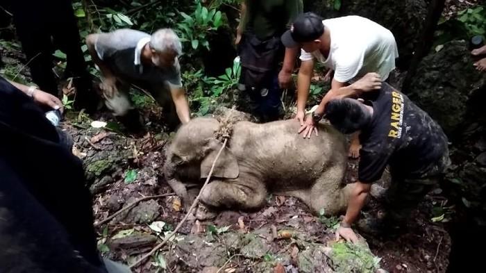 Gajah Salma saat ditemukan pada Juni 2019. (Dok BKSDA Aceh)