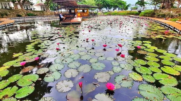 Cantiknya bunga teratai menutupi danau, perpaduan warnanya sangat indah. Belum lagi ada 6000 ikan koi yang sengaja dilepas di sini. (Mohammad Qadri/detikcom)