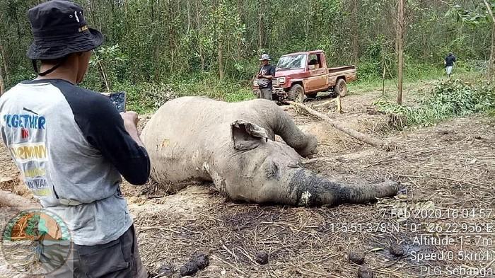 Gajah Sumatera betina berusia 40 tahun mati di Riau