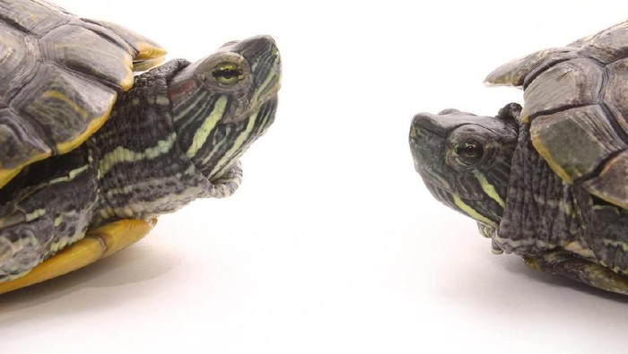 Two red-eared slider turtles face to face.