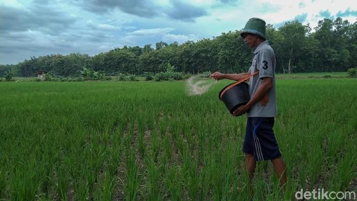 Petani memupuk padi di sawah
