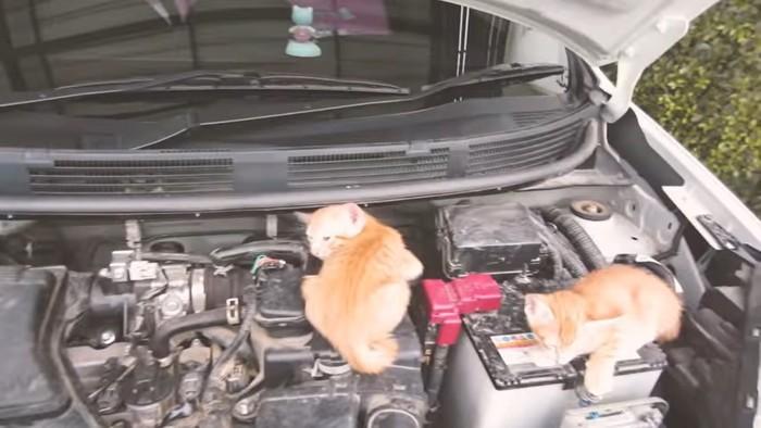 Kucing di Kap Mobil