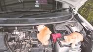 Kenapa Kucing Suka Tidur di Kap Mobil?